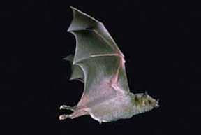 Bat_photo